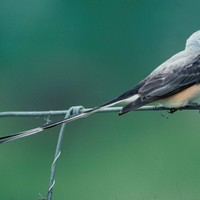 Scissor-tailed-flycatcher_w725_h484_normal