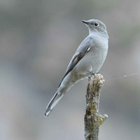 Townsend-solitaire-bird-myadestes-townsendi-perches-on-tip-of-branch_w725_h487_normal