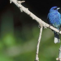 Indigo-bunting-bird-perches-on-a-branch_w725_h476_normal
