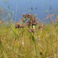 Scirpus-plants_w725_h544_normal