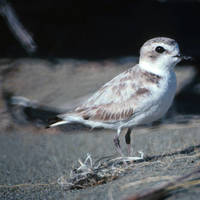 Snowy_plover_normal