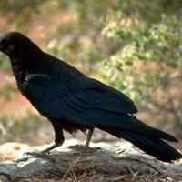 Black-raven-bird_w725_h481_normal