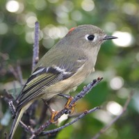 Ruby-crowned-kinglet-bird-regulus-calendula_w725_h508_normal