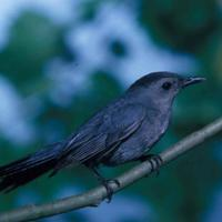 Catbird-on-branch_w725_h483_normal