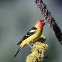 Western_tanager_normal