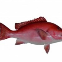 Red-snapper-fish-mount_normal